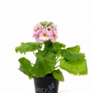 Primula Malacoides light rose